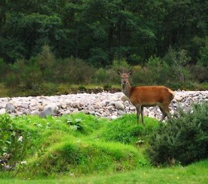 Red Squirrel campsite deer picture
