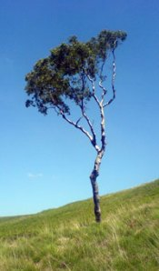 Lone birch tree, Dovestones