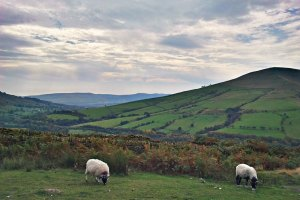 Sheep grazing in Edale
