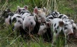 Kylesmorar pigs